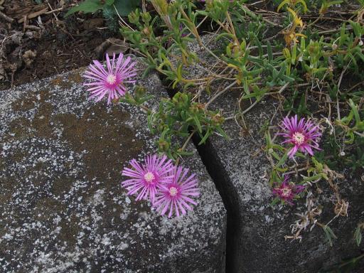 20171001・狭山湖植物16・マツバギク