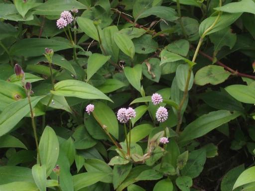 20171001・狭山湖植物22・ヒメツルソバ