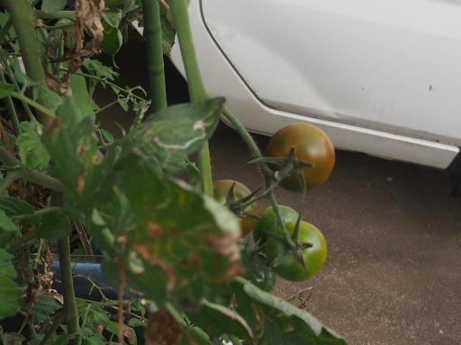 20171001・狭山湖植物20・ミニトマトの実