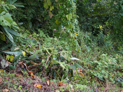 20171023・台風東北旅行植物5・ナンブアザミ