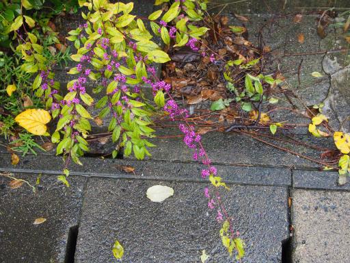 20171022・台風東北旅行植物1・ムラサキシキブ