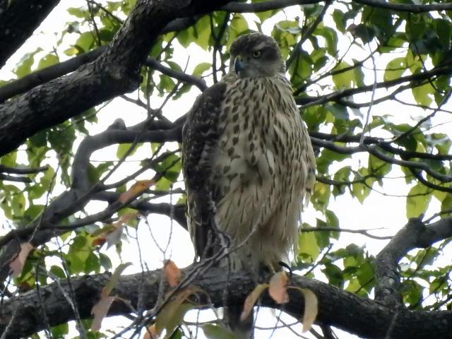 オオタカ若鳥06