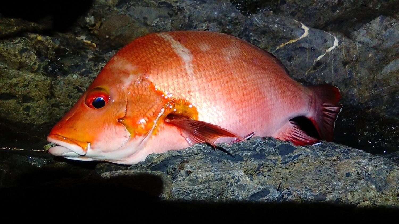 【釣果情報】室戸岬の地磯で夜釣り