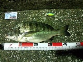 【釣果情報】チヌフォトダービー釣果報告