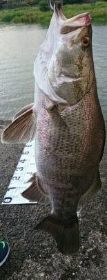 【釣果情報】泳がせ釣りクラブ