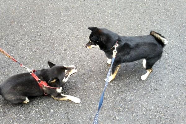 黒柴 エクボちゃんとニコ