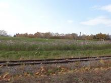 線路沿いの宿根草園はコスモスが咲いています