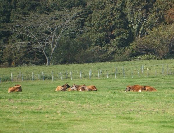 やっと望遠で捉えたジャージー牛の群れ、立ち上がってくれなかった▼