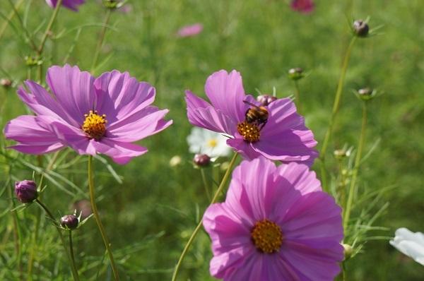 蜜を求めてハナアブがコスモスの花を飛び回っています