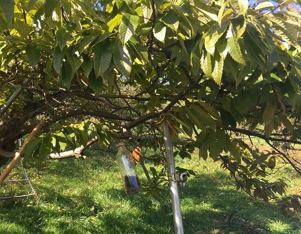 農薬を使わない虫取り装置、ちなみに下がっている木は栗