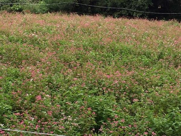 境集落の紅蕎麦の畑も満開