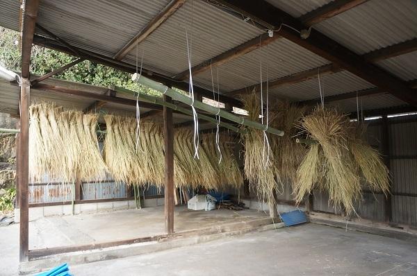 縄を編む作業前、12月12日に下準備した干したワラ束
