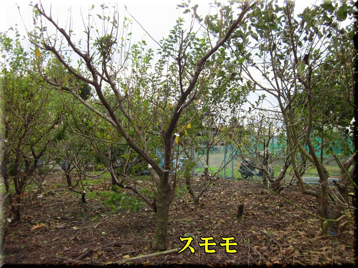 1sumomo171024_008.jpg