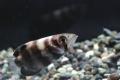 テッポウウオ幼魚2