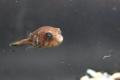 モヨウフグ 幼魚4
