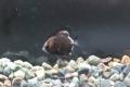 ヒメツバメウオ 幼魚