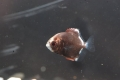 ヒメツバメウオ 幼魚2