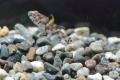 ミツボシゴマハゼ 背鰭