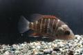 ゴマフエダイ 幼魚3