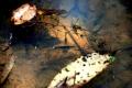 アフリカツメガエル幼生2