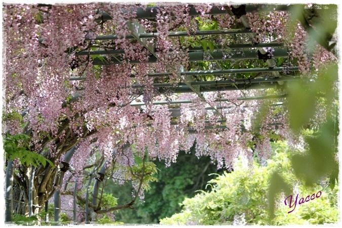 横須賀しょうぶ園の藤
