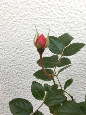 薔薇がひっそりと