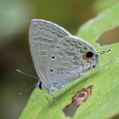 384-ウスアオオナガウラナミシジミ♂-2017-10-27バンナ公園-P1060282