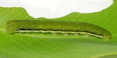 384-ウスキシロチョウ幼虫28mm-2017-10-22-P1060012