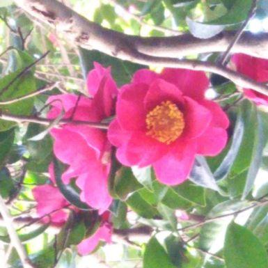 井伊直虎のオープニングでもおなじみ、浜松は椿が美しい所