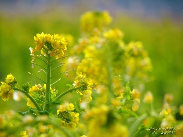5500冬の菜の花