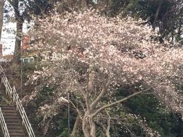 20181124桜2