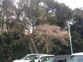 20181124桜3