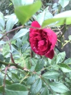 rose2018121.jpg