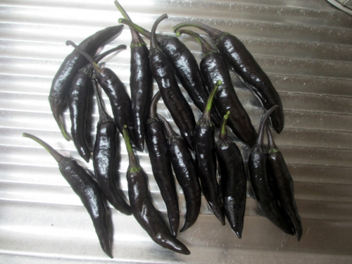 紫唐辛子/むらさきとうがらし 大和の伝統野菜